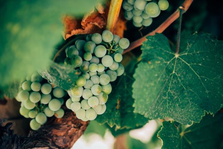stock-photo-grape-vine