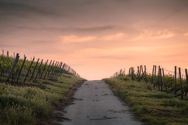 stock-photo-vineyard